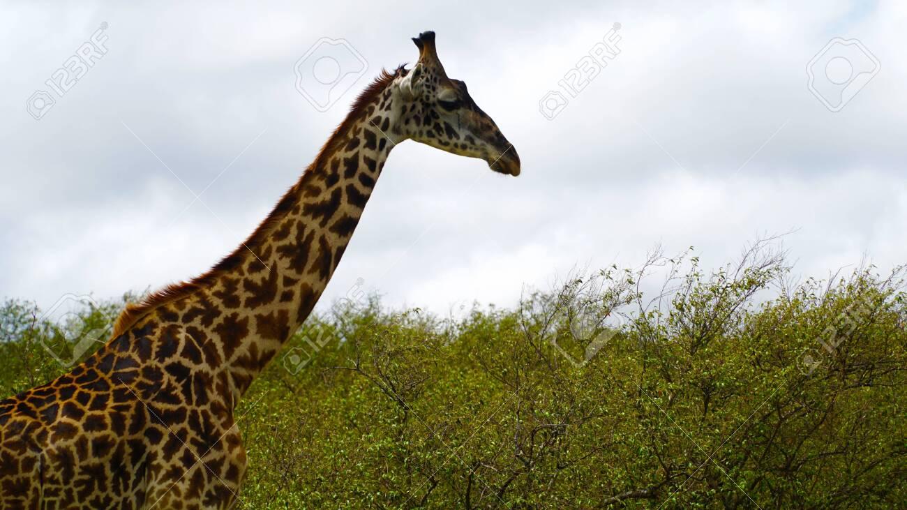 Lonely Giraffe in the Savannah - 146048104