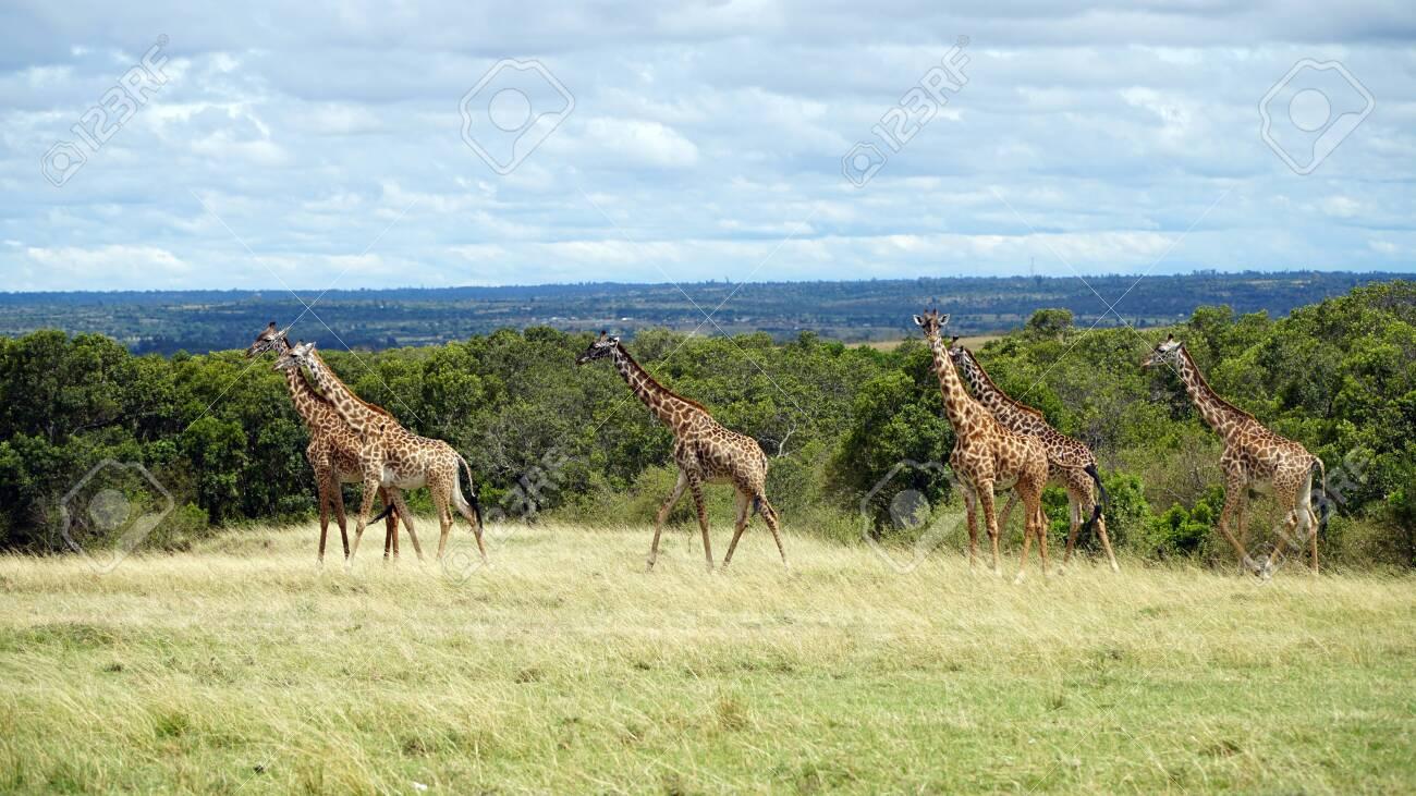 Wild Giraffes in National Park of Kenya, Africa - 146048225