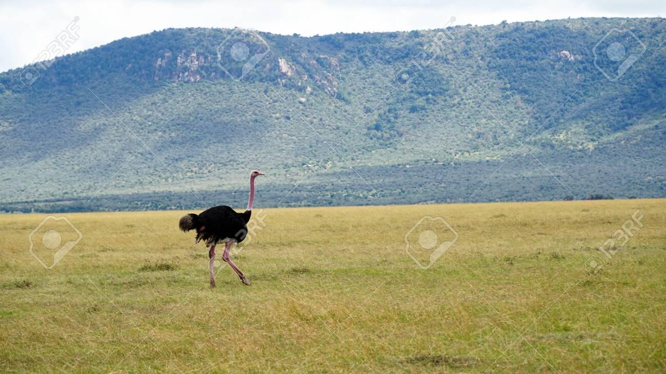 Ostrich in South Africa Wildlife - 146048250