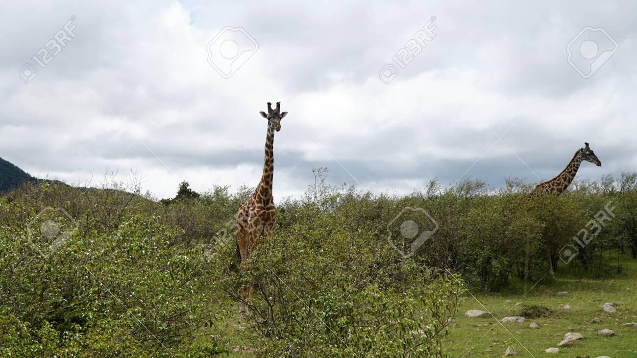 Giraffes in Savannah at Africa - 146048252
