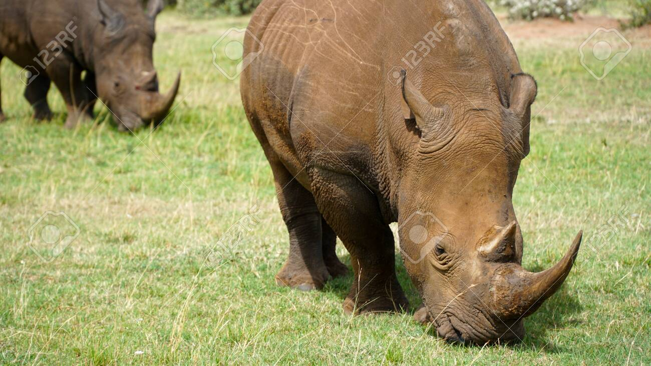 African Rhino Eating Green Grass - 146047870