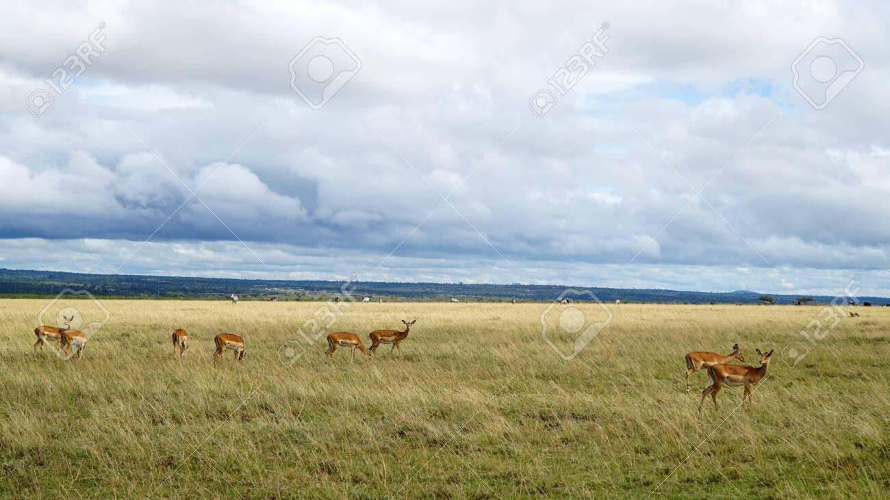 Antelopes Eating Grass in Africa - 146345938