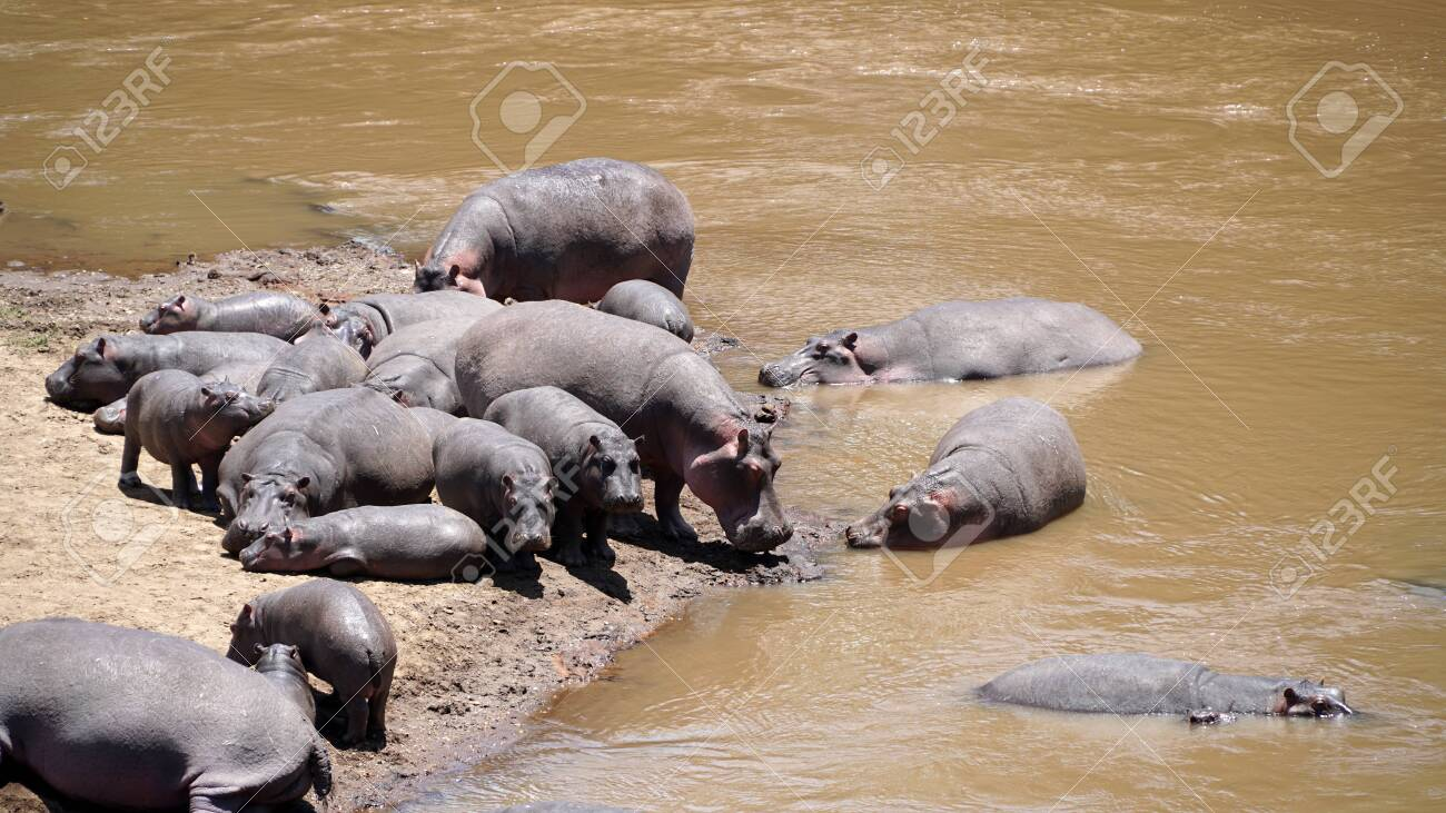 A Group of Common Hippopotamus or Hippo in the River - 146345940