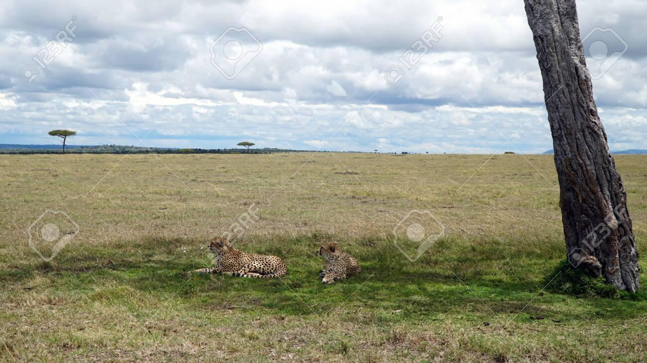 Cheetahs in the Shade, Maasai Mara National Reserve Kenya - 146345941