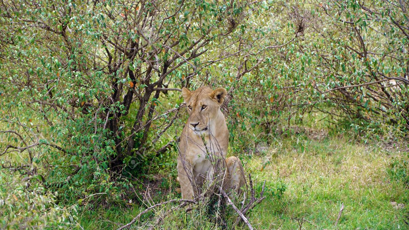 Female Lion Sitting Between Trees - 146345952