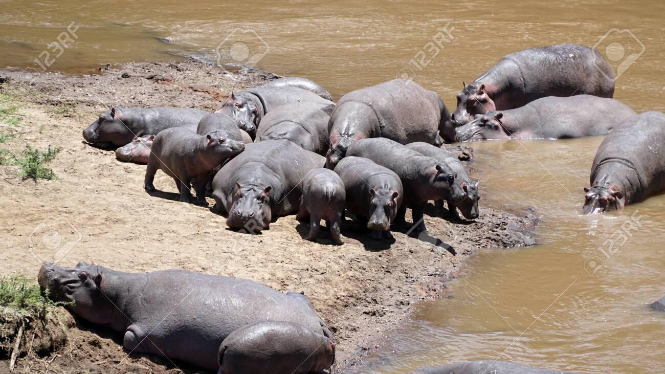 Group of Hippopotamus or Hippos in Wildlife - 146345953