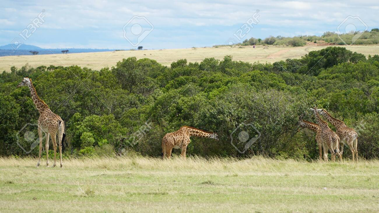 A Group of Giraffes in Africa - 146345962