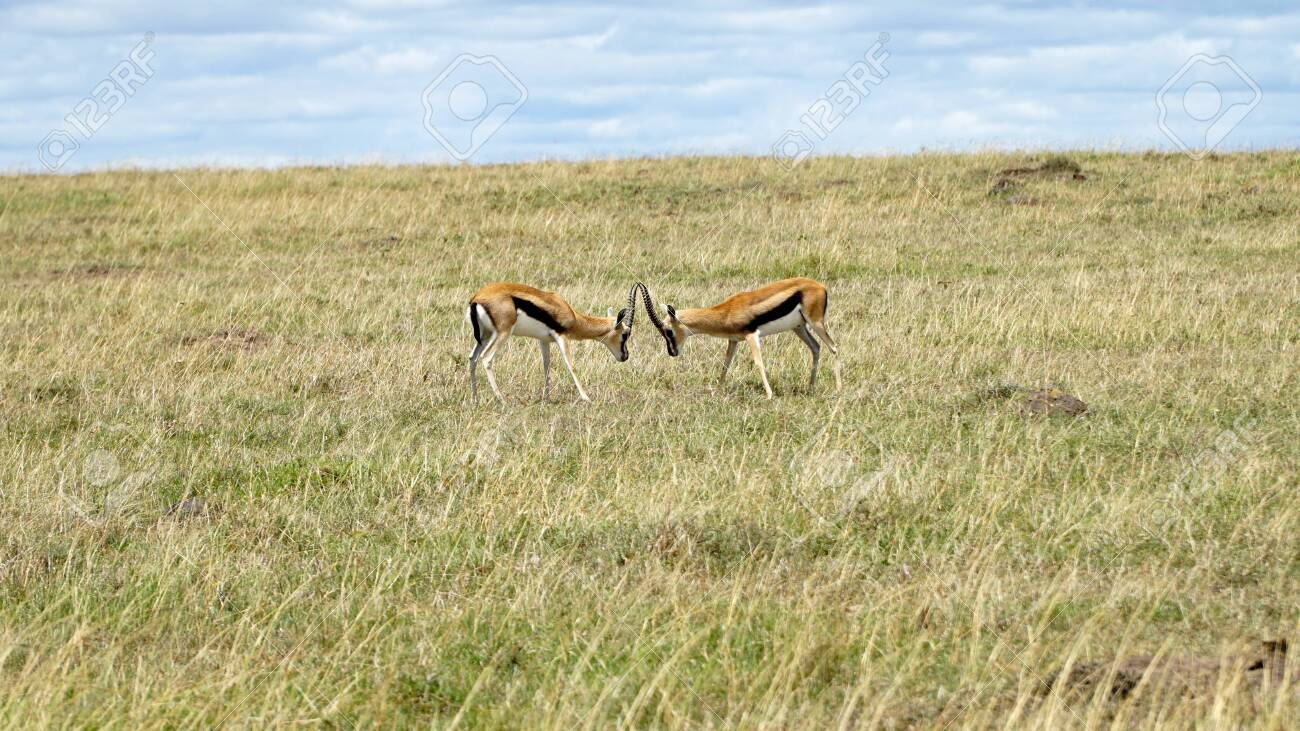 Two Impalas in African Savanna - 146345969