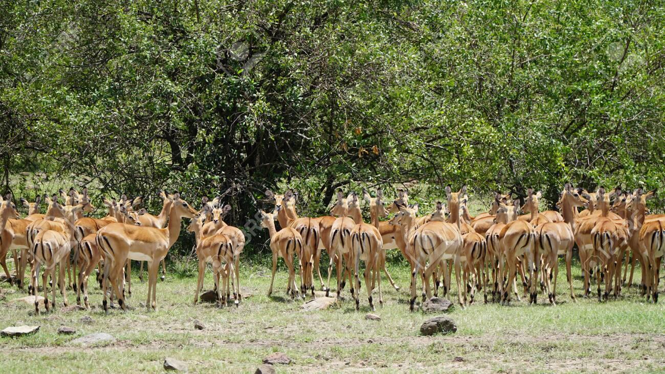 Impalas (Aepyceros Melampus) or Antelopes in South Africa - 146345975