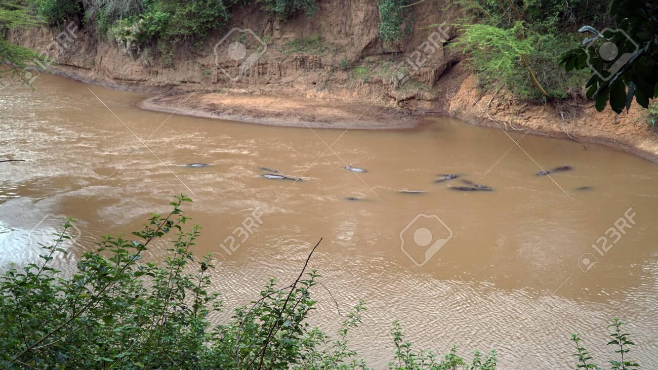 Hippopotamus Swimming in The River, Kenya - 146345999