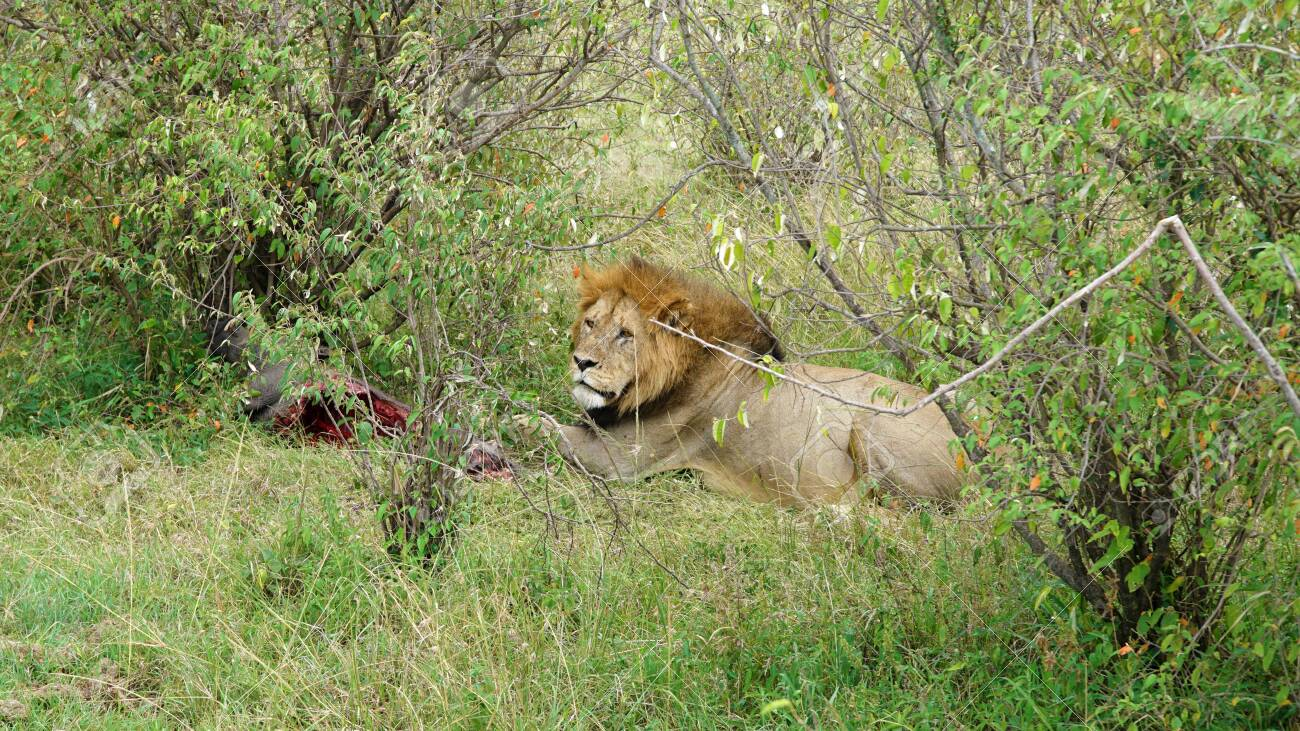 Lion Lying on the Grass and Eating - 146346025