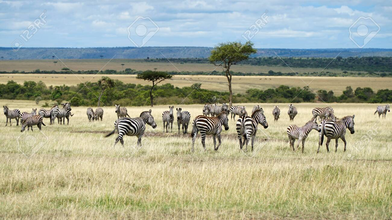 African Zebras in The Savannah. Masai Mara, Kenya. - 146346026