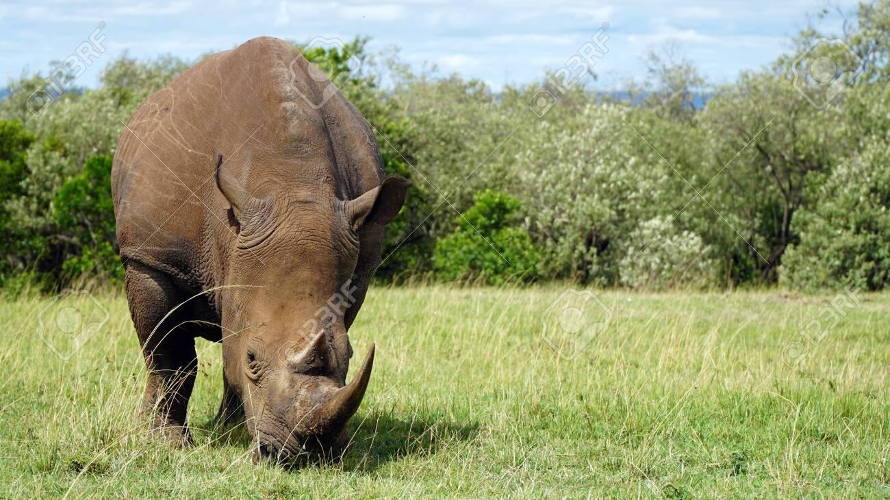 African Rhino, National Park of Kenya - 146346028