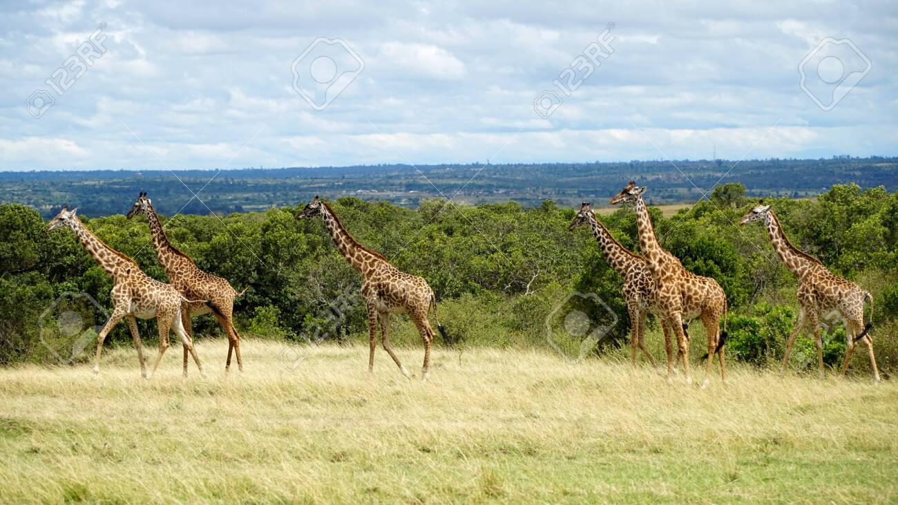 Wild Giraffes in National Park of Kenya, Africa - 144135002