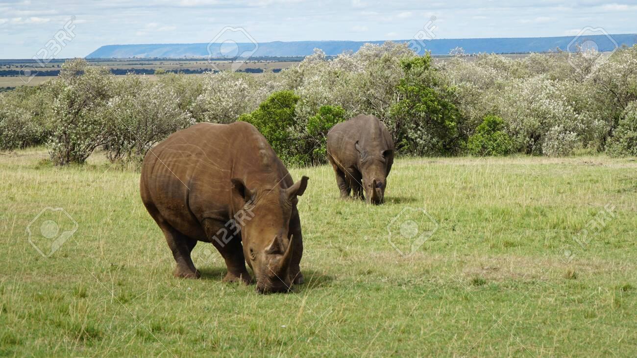 Rhinos Grazing in the African Savanna - 144135004