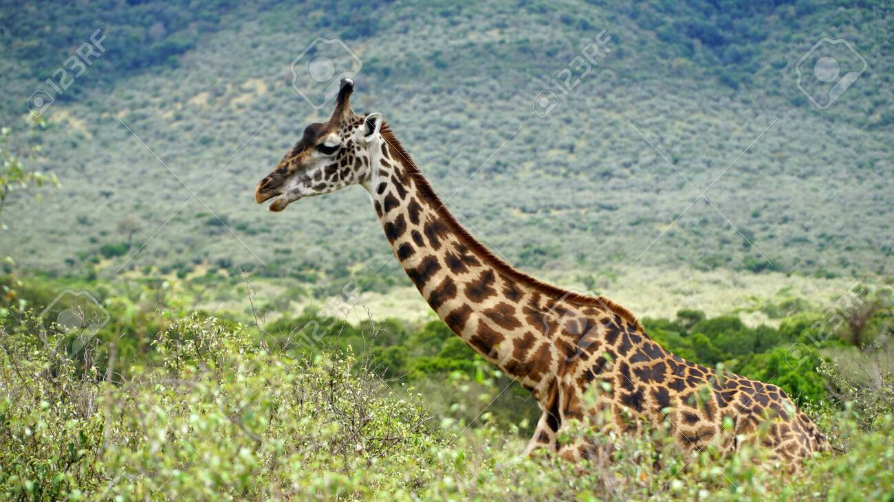 Giraffe Walk Through the Savanna Between the Plants - 144135008
