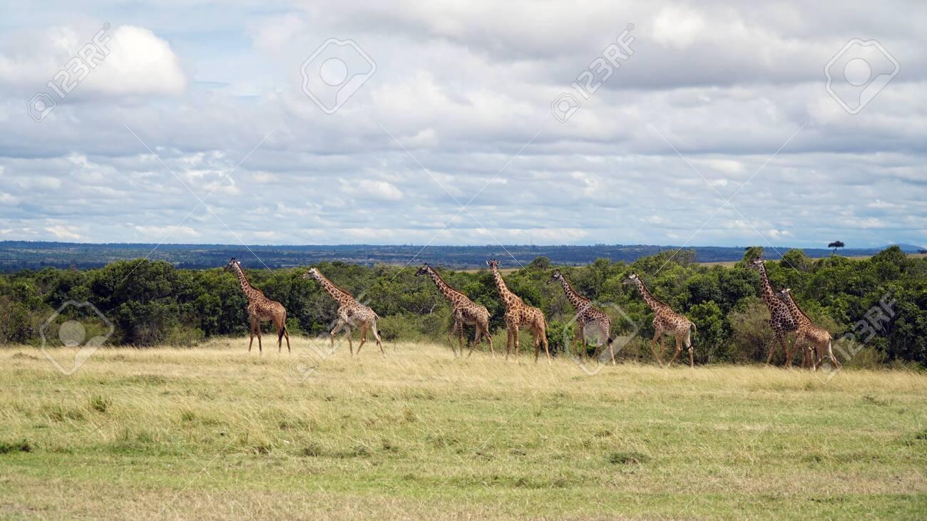 Group of Giraffes Walking in Savannah, Kenya - 144135009
