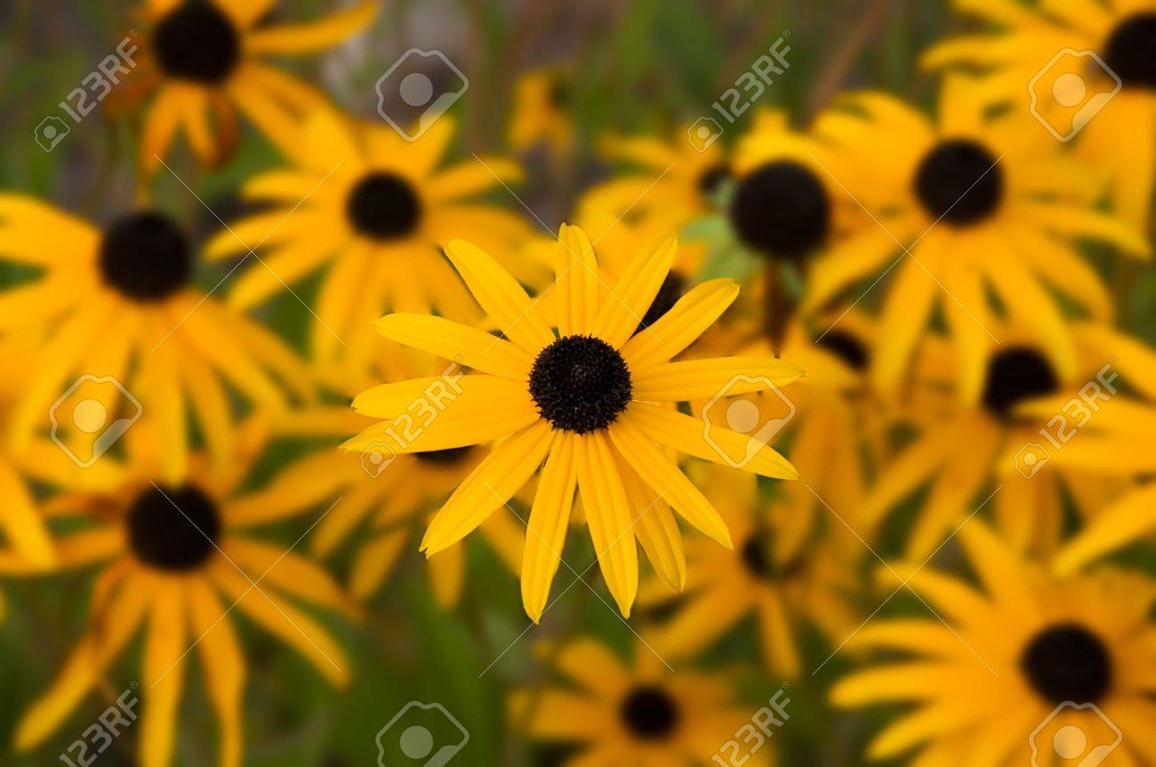 Rudbeckia yellow and black colored flowers black eyed susan stock rudbeckia yellow and black colored flowers black eyed susan stock photo 5817313 mightylinksfo