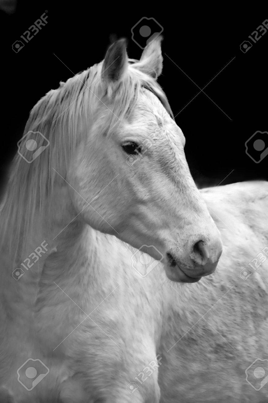 Closeup Portrait Of White Horse With Black Background Stock Photo Picture And Royalty Free Image Image 2115843