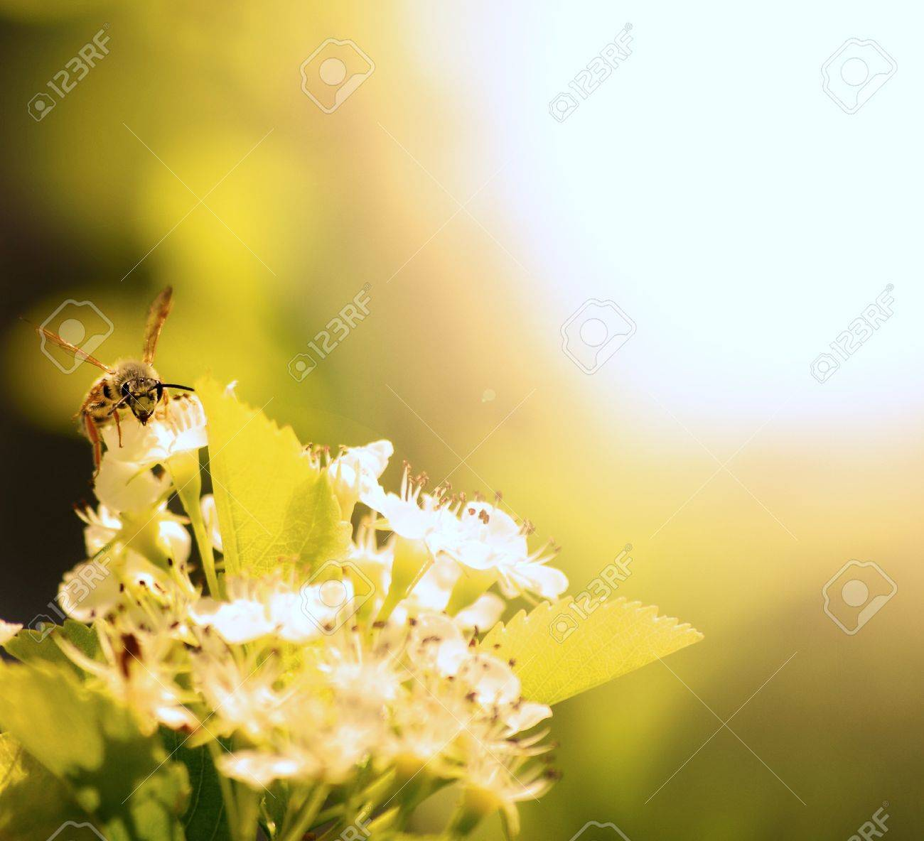A single Bee Resting on a Flower Petal Stock Photo - 9548299