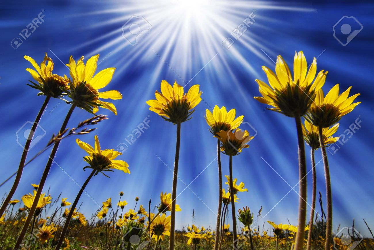 Summer Yellow Flowers Growing Up Towards Sun In Blue Sky Stock Photo