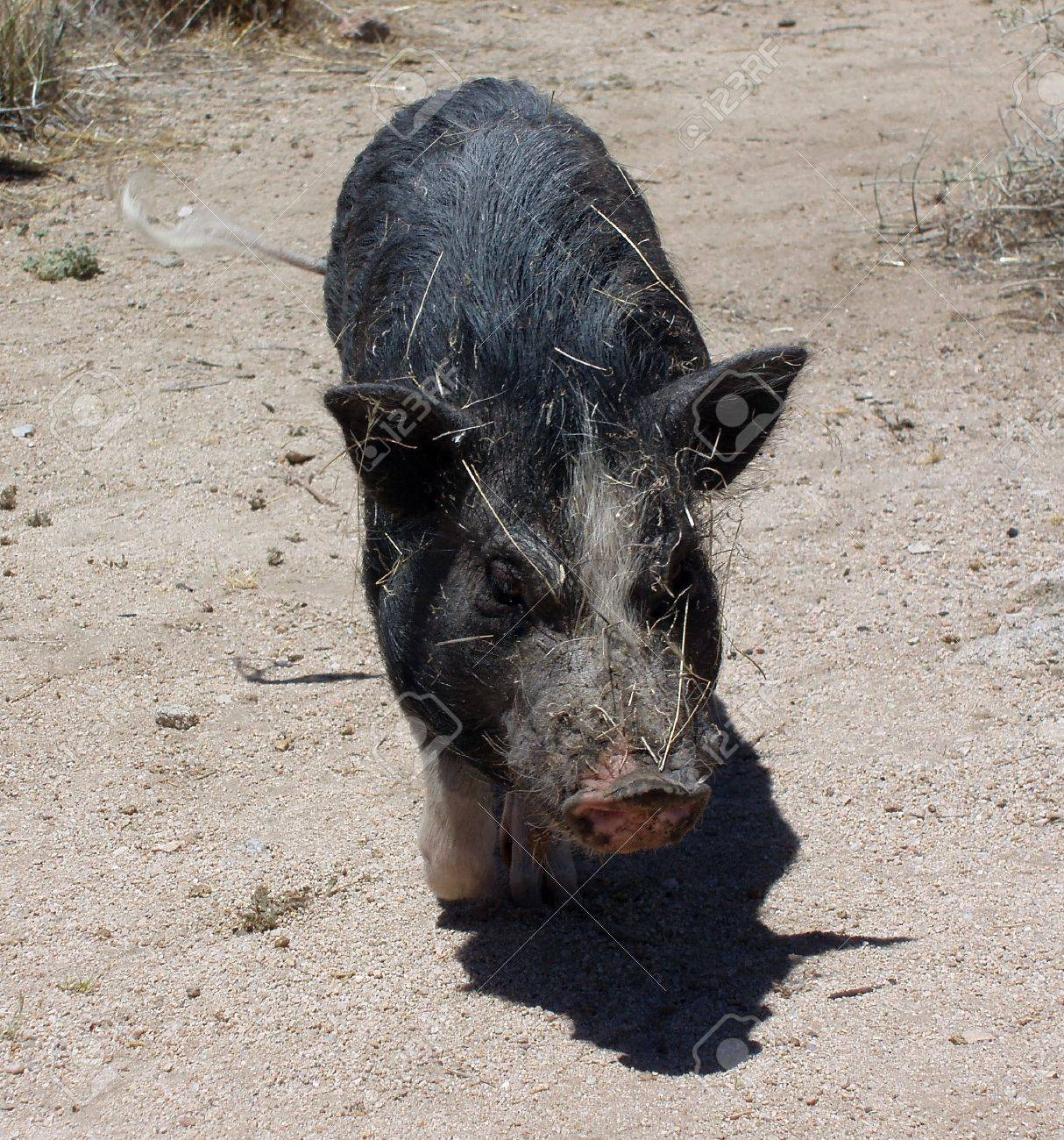 pig in the desert wags his tail all covered in sticks mojave