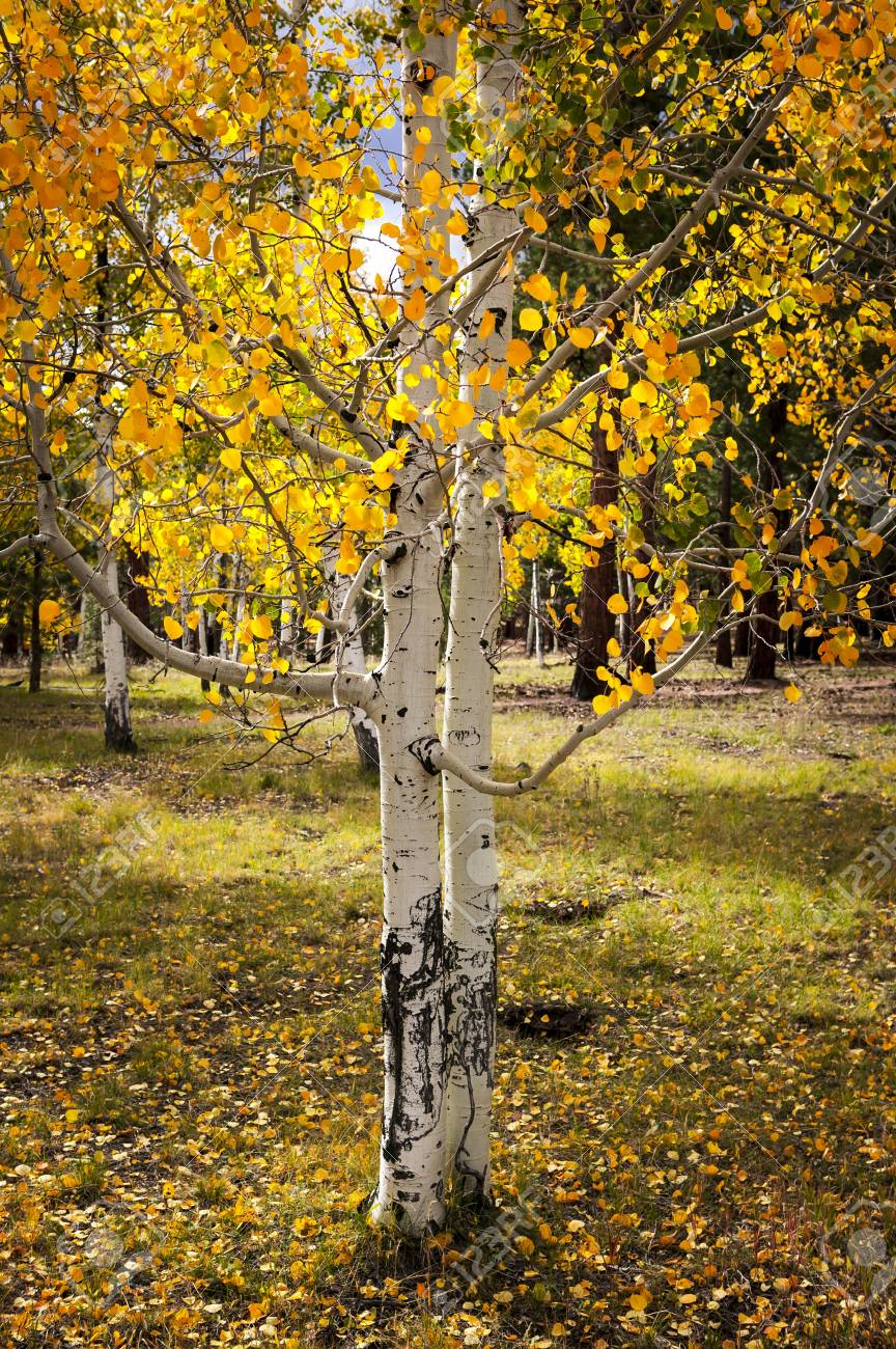 Aspen Grove at the Grand Canyon Stock Photo - 14696132
