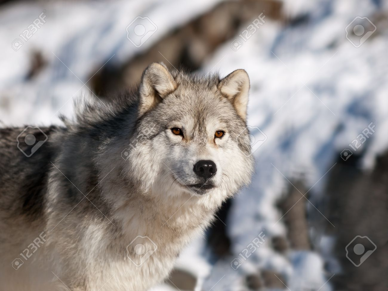 Alpha male arctic wolf watching in snow Stock Photo - 8519559