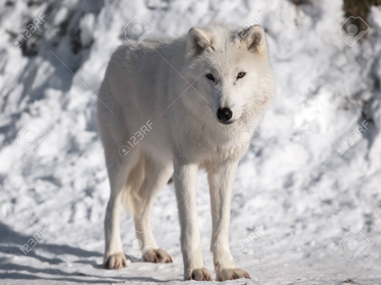 Artic wolf in winter. Stock Photo - 8601692