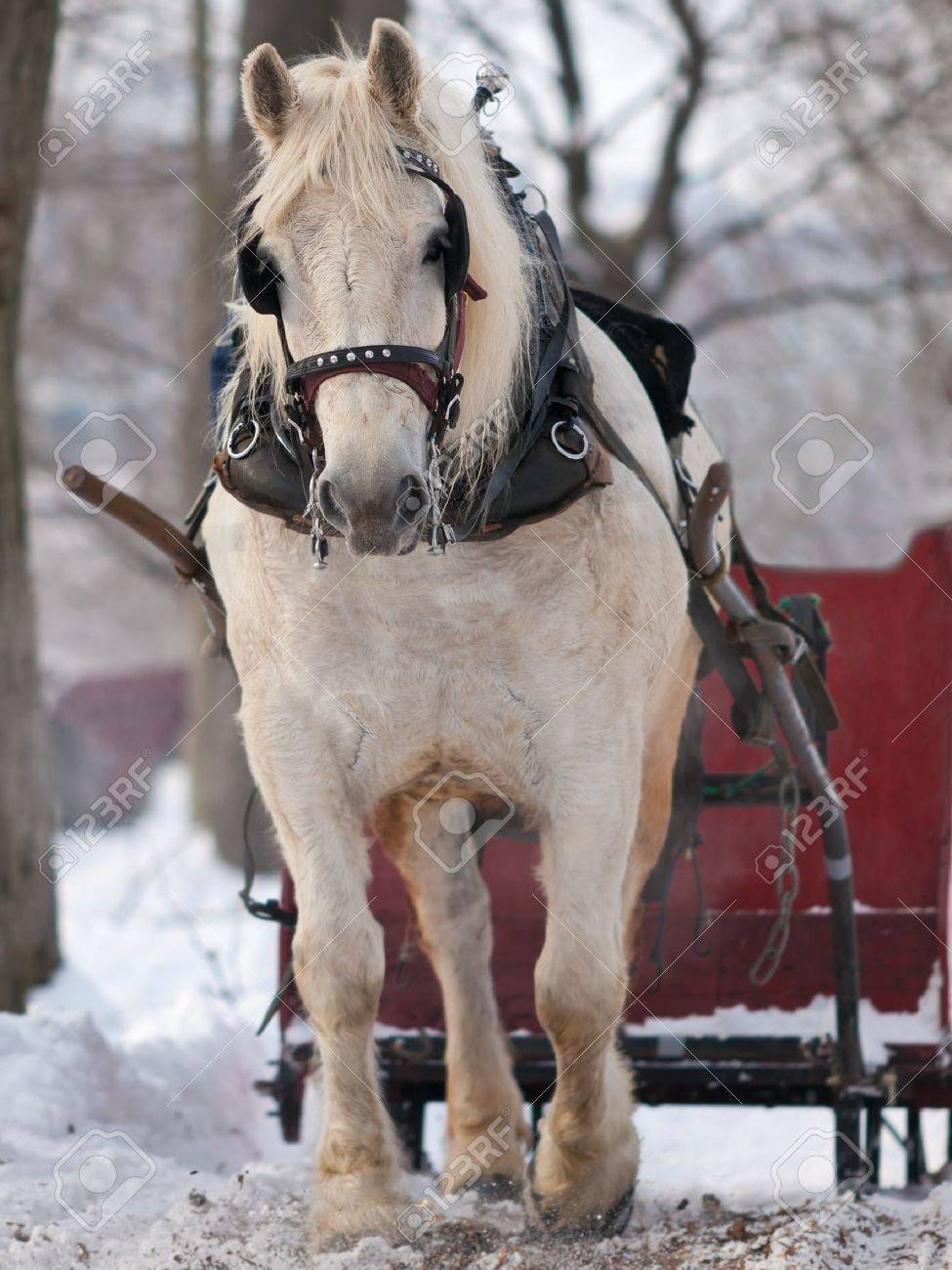 White horse pulling red sleigh in winter Stock Photo - 12040657