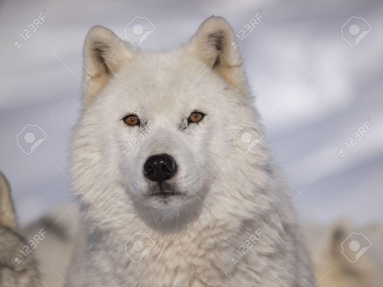 Arctic Wolf #5