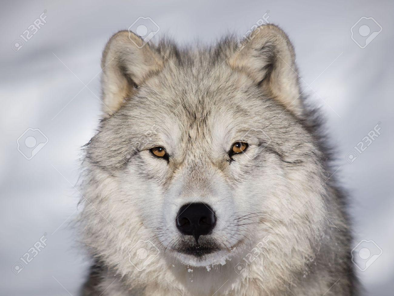 Arctic Wolf #14