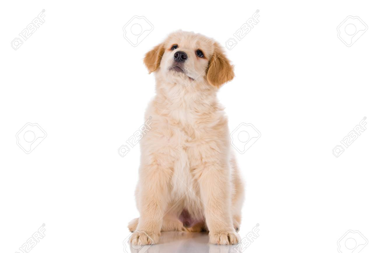 Golden Retriever Male Puppy Sitting And Looking Up Isolated Stock