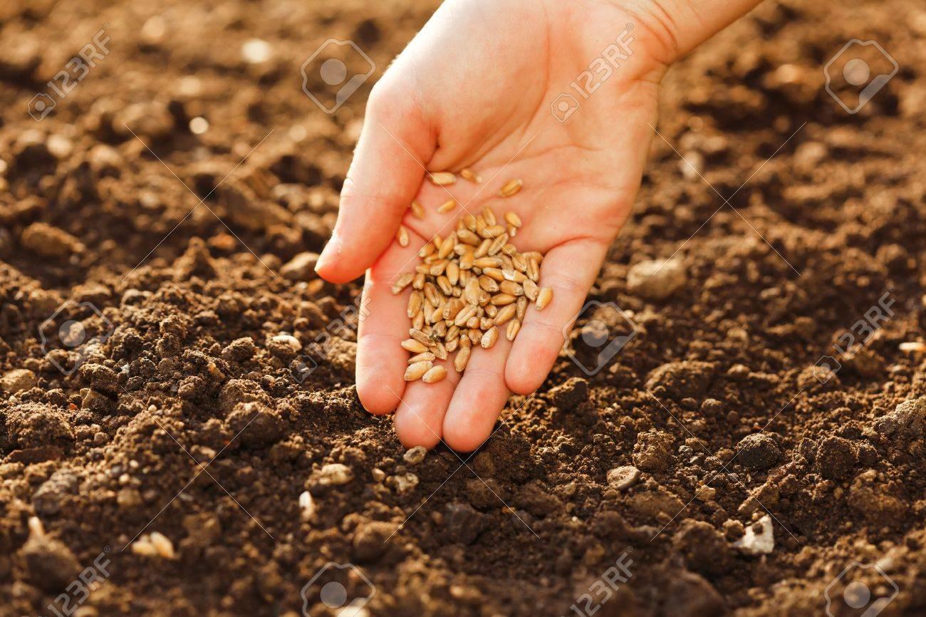 Когда и как сажать укроп семенами в открытый грунт: весной 22