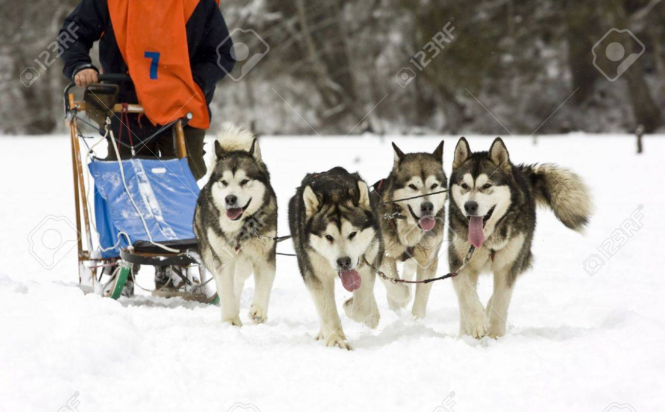 dog sledding with huskies stock photo picture and royalty free