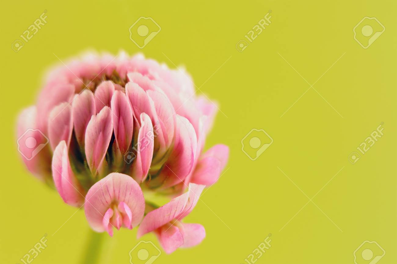 Single Pink Clover Flower On Blurry Green Background Stock Photo