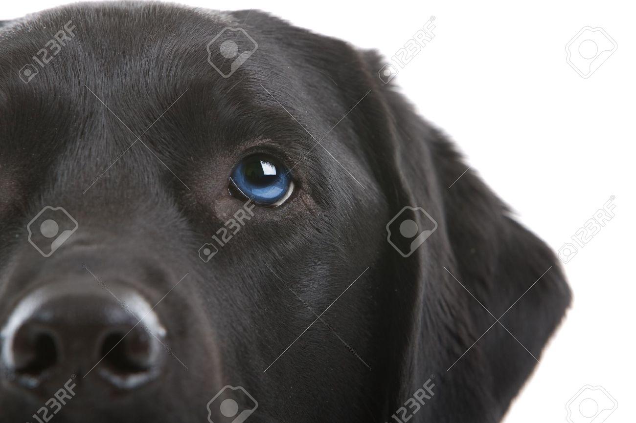 black labrador retriever with blue eyes Stock Photo - 6764169