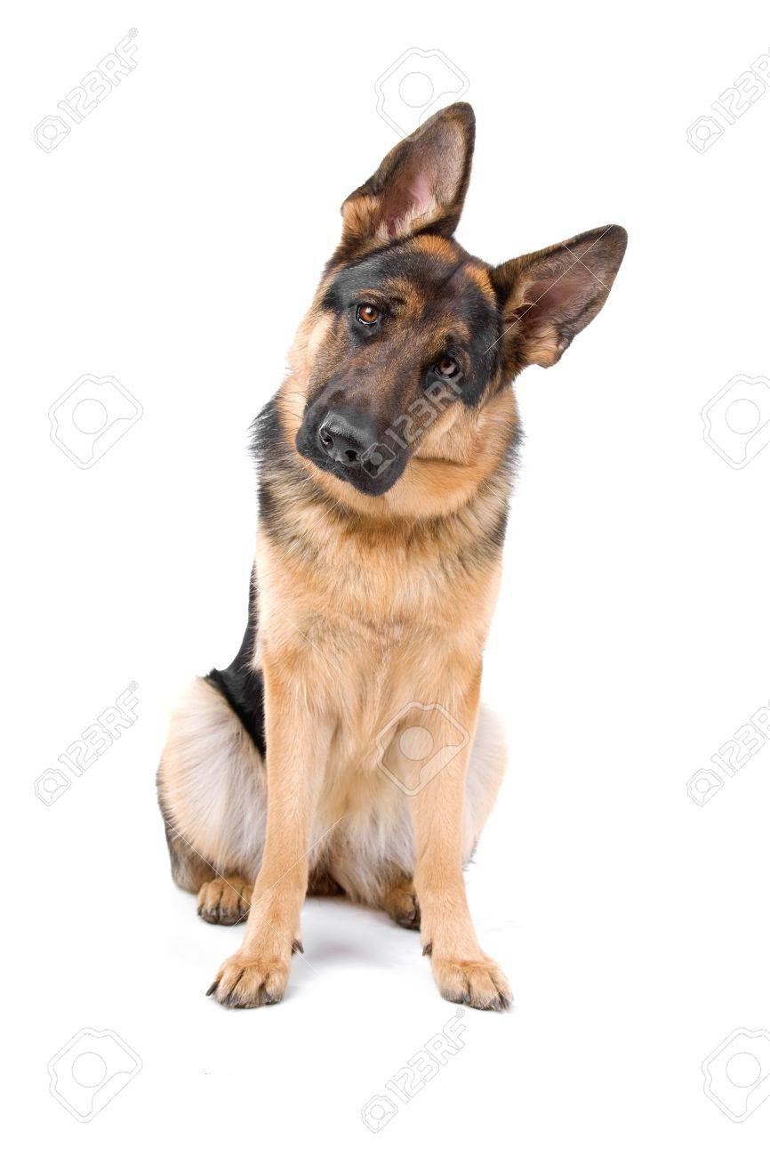 german shepherd dog looking at camera Stock Photo - 7122944