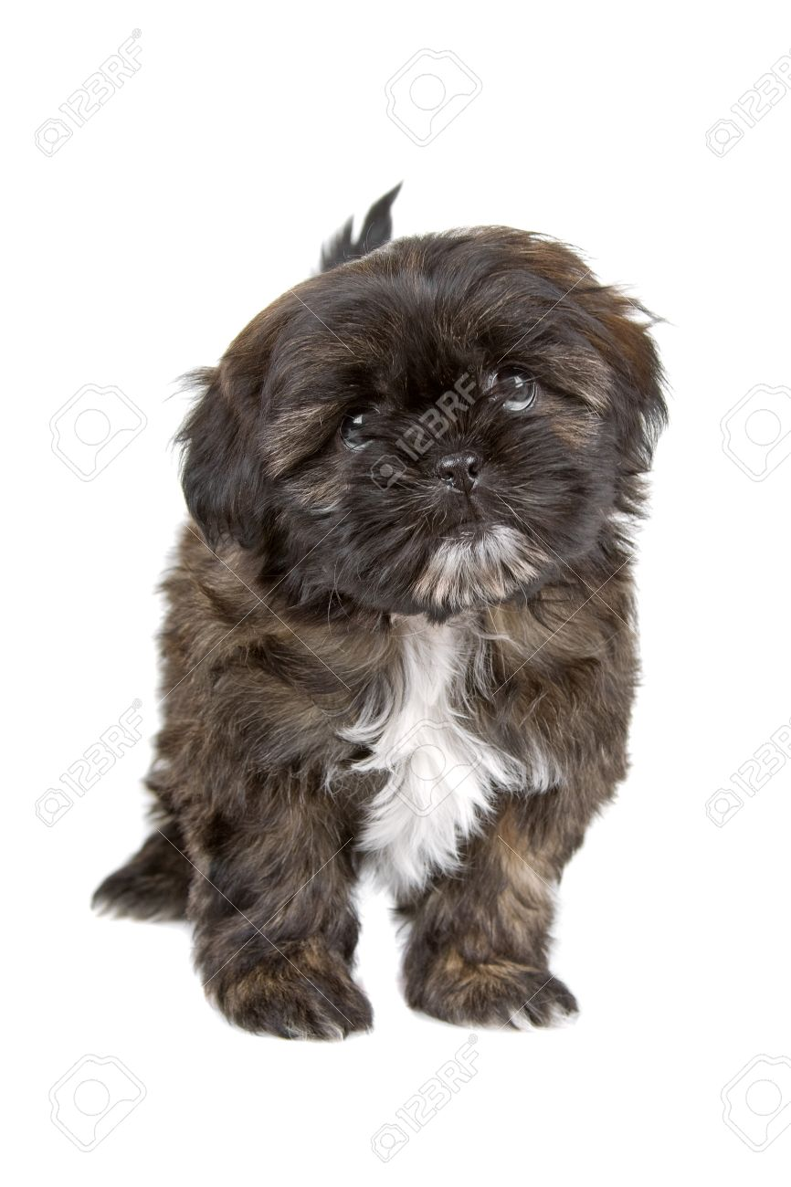 Black And White Shih Tzu Puppy Looking At Camera Stock Photo