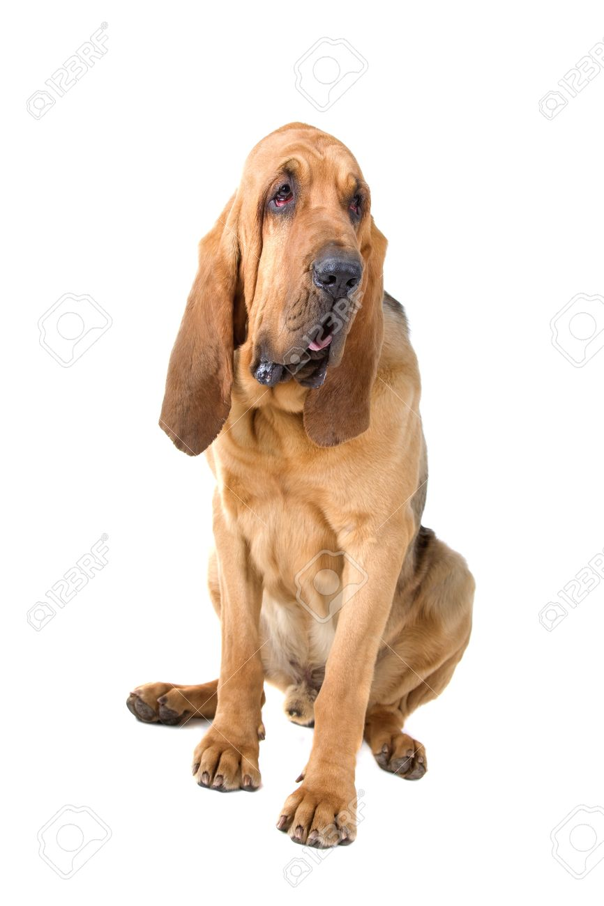 front view of a bloodhound (st.hubert or sleuth) Stock Photo - 7121946