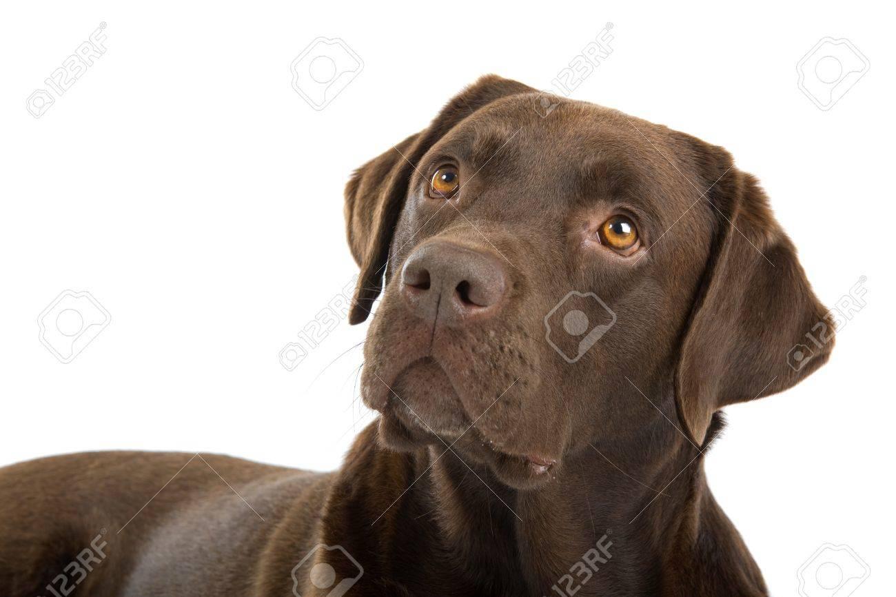 Chocolate Labrador Retriever Dog Isolated On A White Background ...