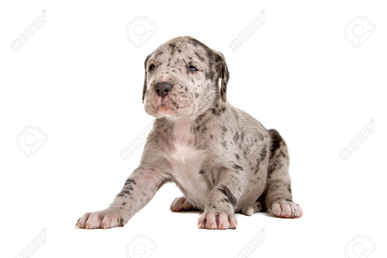 Blue Merle Great Dane Puppy Sitting And Looking Forward Stock Photo Picture And Royalty Free Image Image 7218196