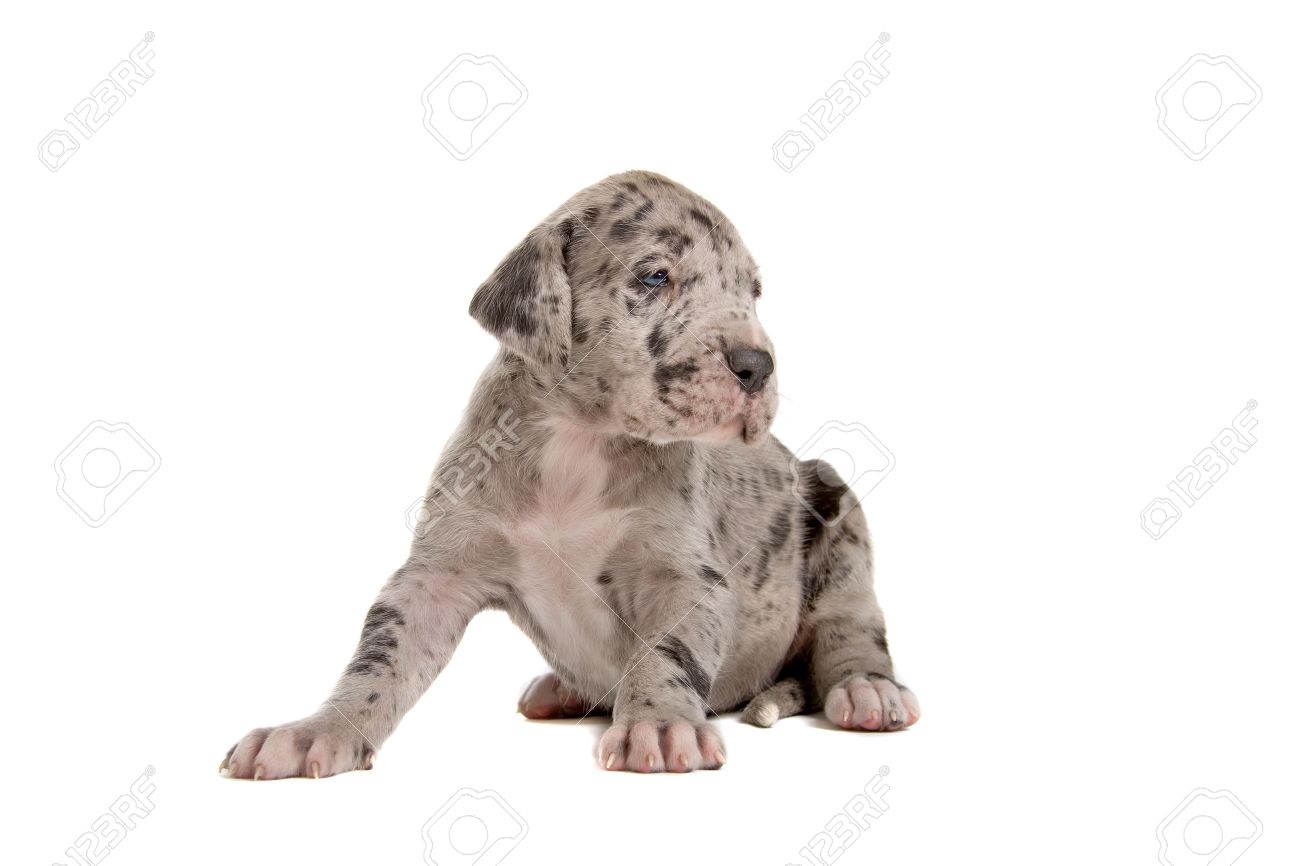 Blue Merle Great Dane Puppy Sitting And Looking At Side Stock Photo Picture And Royalty Free Image Image 7218194