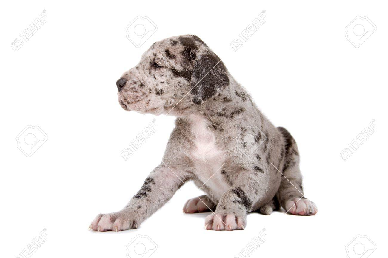 blue merle great dane puppy isolated on a white background Stock Photo - 7218228