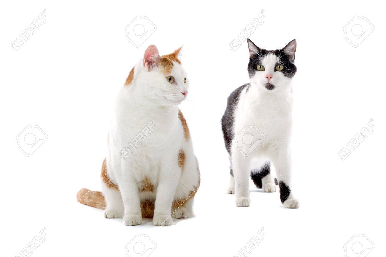 Black And White And Red And White European Shorthair Cats Isolated