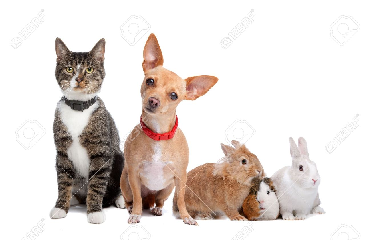 European shorthaired cat, chihuahua dog, rabbits and a Guinea Pig isolated on a white background Stock Photo - 8007871
