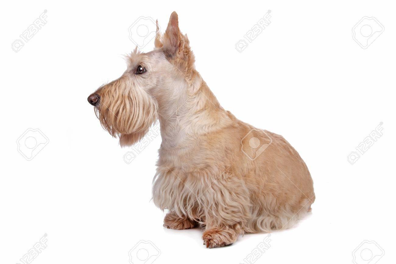 Scottish Terrier Stock Photo - 8049214