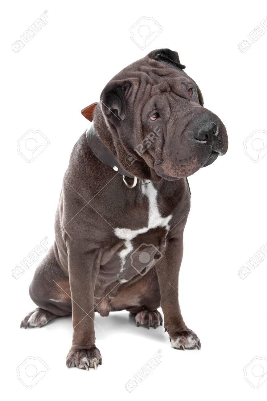 shar pei, shar-pei, chinese shar-pei, isolated, dog, white, isolated