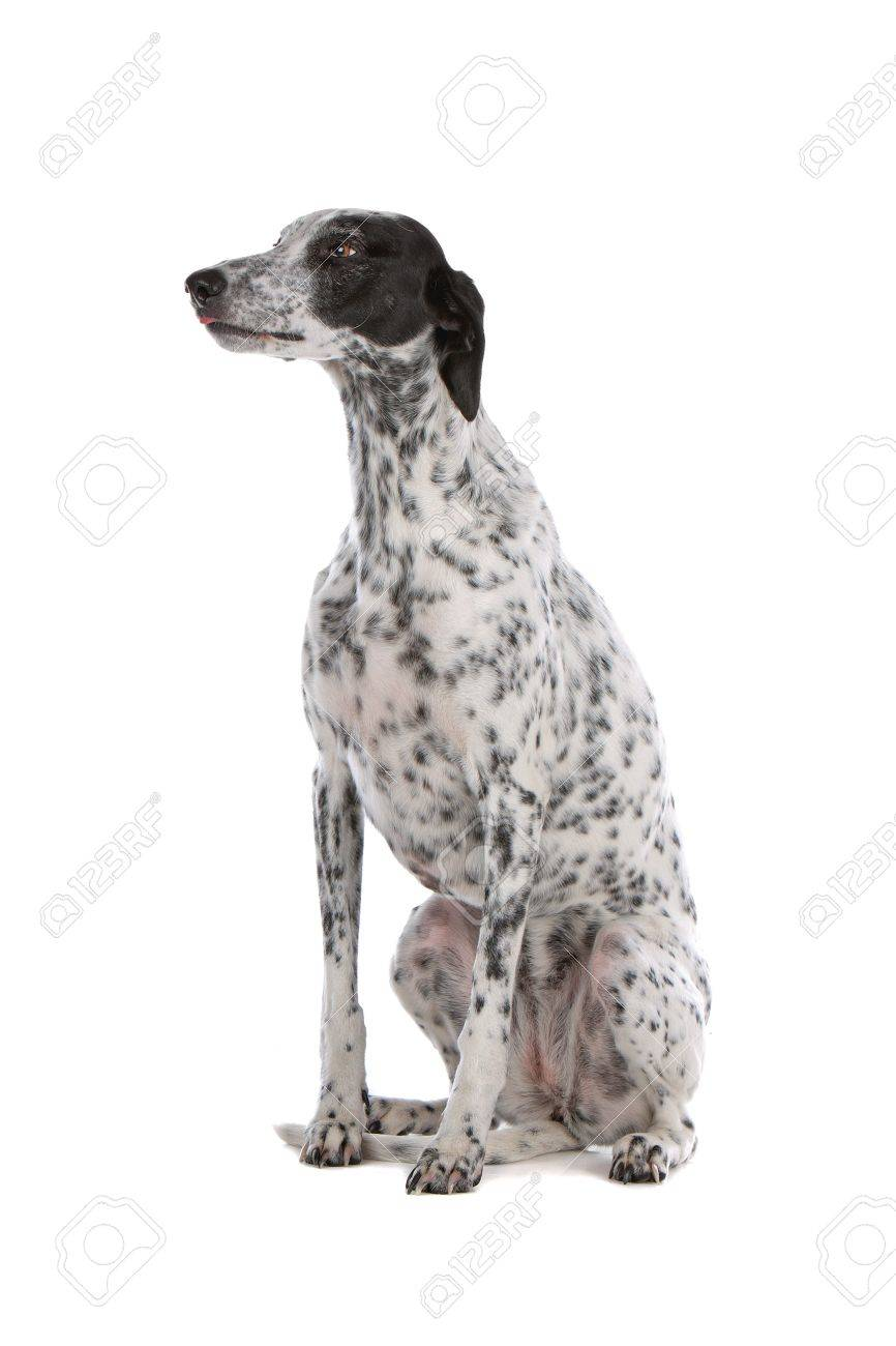 white Greyhound dog with black spots isolated on a white background Stock Photo - 8049471