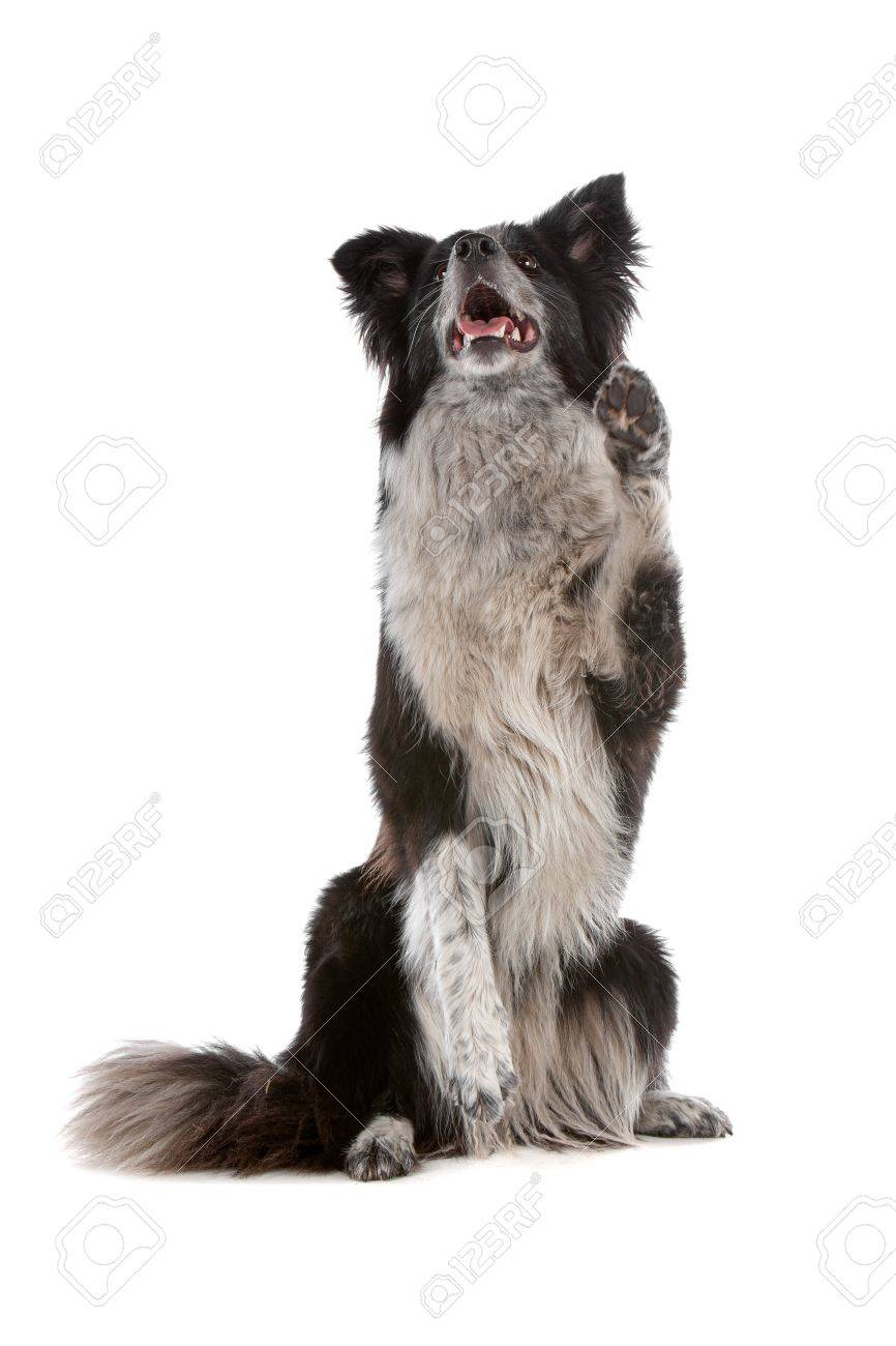 a border collie sheepdog isolated on a white background Stock Photo - 8049537